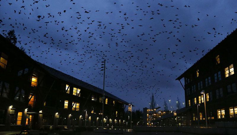 A Pre-Halloween Crow Fest In Bothell – And Black Crow